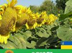 насіння соняшника Олівер / високоврожайний гібрид соняшника