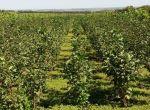 Саженцы плодово-ягодных деревьев 2й сорт