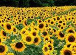 Продаємо насіння соняшнику Рембо
