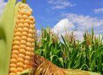 кукурудза Вакула (ФАО 250) / Високоврожайний гібрид кукурудз