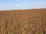 Продам насіння канадської гречки 'ГРЕНБІ'