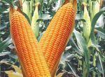 насіння кукурудзи гібрид Гран 310