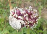 Воздушка семян чеснока сорта Любаша откалиброваны