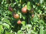 Продам саджанці плодових дерев