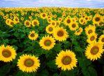 Соняшник НЕО - високоврожайний, під гранстар