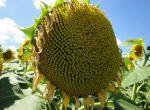 Насіння соняшника, кукурудзи, буряка, ріпаку