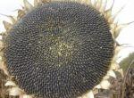 Насіння соняшника під Гранстар