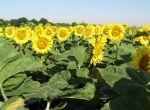 Ультраскоростиглий гібрид соняшнику