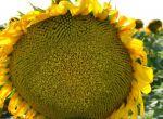 Насіння Соняшник Фолк під Express ® SU (гранстар) 50г/га