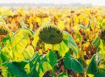 Насіння Соняшнику під Гранстар по доступній ціні