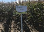 Семена кукурузы ВН 63 (ФАО 280) -10% скидки напрямую от прои