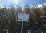 Семена Кукурузы Гран 6 (ФАО 300) -10% скидки напрямую от про