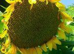 Насіння соняшнику гібрид ОСМАН під Євро- лайтнінг