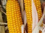 Насіння кукурудзи гібрид ВН 63 (ФАО 280)