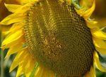 Насіння соняшнику Лейла (гібрид французької селекції)