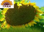 Насіння соняшнику Бленд/соняшник стійкий до євро-лайтнінг
