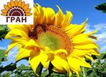 Насіння соняшнику Жалон Гранд (гібрид французької селекції)