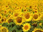 Насіння гібридів соняшнику Syngenta