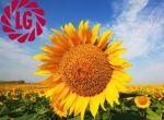 Насіння гібридів соняшнику Limagrain