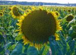 Насіння гібридів соняшнику Pioneer