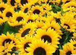 Насіння гібридів соняшнику Новий сад