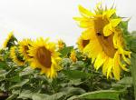 Насіння гібридів соняшнику - Україна