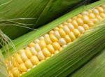Насіння гібридів кукурудзи- Monsanto