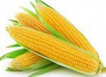 Насіння гібридів кукурудзи- Хотин, Оржица