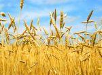 Куплю зернові. Кукурудза, пшениця, ячмінь, овес і тд