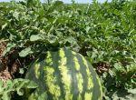 Продам арбузы, новый урожай!
