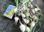 чеснок озимый. семена чеснока