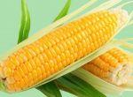 Куплю кукурузу от 100 тонн, цена высокая