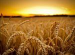 Куплю пшеницу, ячмень оптом, дорого.