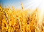 Куплю пшеницю, ячмінь оптом, дорого.