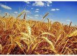 Куплю дорого пшеницу 2,3 класса, ячмень
