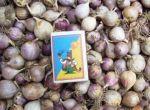 Чеснок . Семена чеснока (воздушка) . Однозубка чеснока
