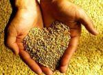 Продам пшеницю, 2 клас, ярову 98 %