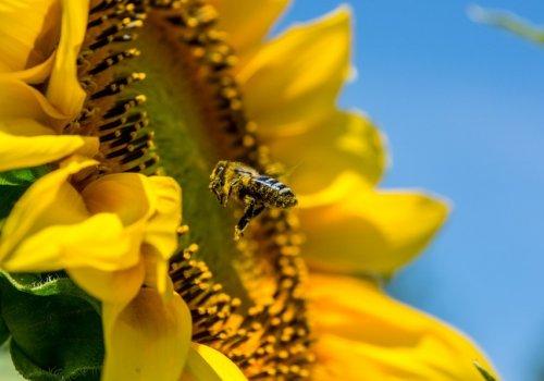 Завдяки бджолозапиленню можна отримати додатковий урожай
