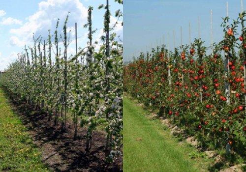 Як правильно садити фруктові дерева