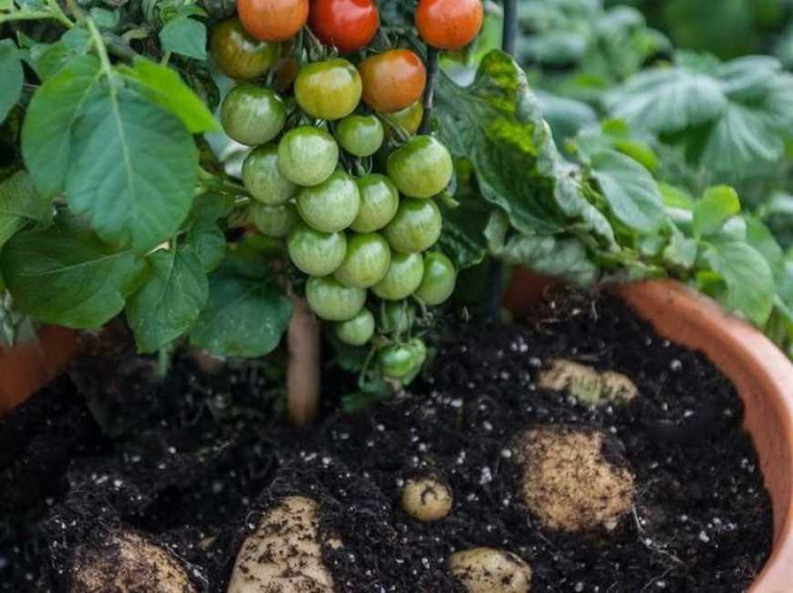 В Україні почали вирощувати томатокартоплю