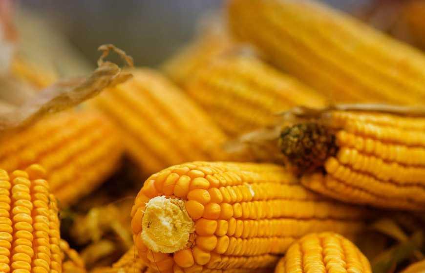 Як підібрати оптимальні гібриди кукурудзи з огляду на конкретні ґрунтово-кліматичні  умови c83e88b7cd387