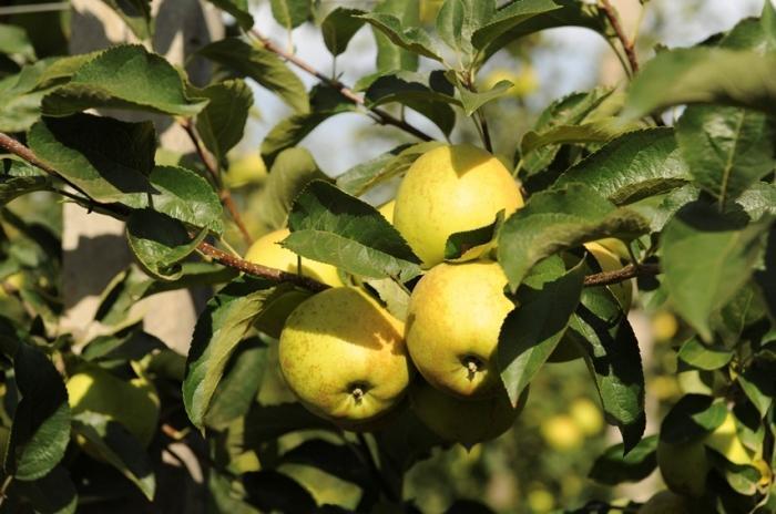 Нюанси догляду за садом — Агробізнес сьогодні 60fecda06bb21