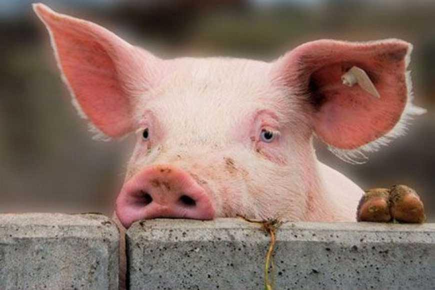 Цьогоріч в Україні через АЧС було знищено 32 тис. голів свиней 4629d3c1d2122