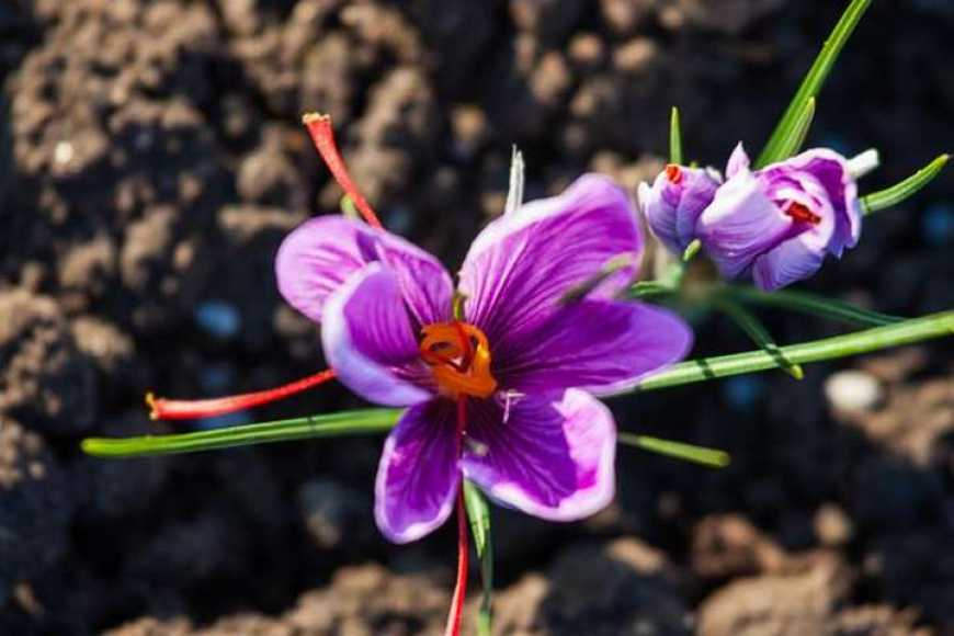 Найдорожчу у світі пряність навчились вирощувати під Запоріжжям