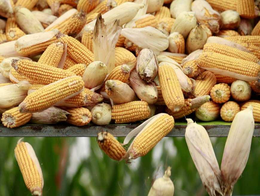 Елеватори ДПЗКУ розпочали приймати кукурудзу нового врожаю