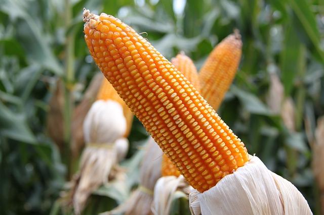 Вибір гібридів кукурудзи залежно від ґрунтово-кліматичних умов вирощування  — Агробізнес сьогодні cddd6f43c1e33